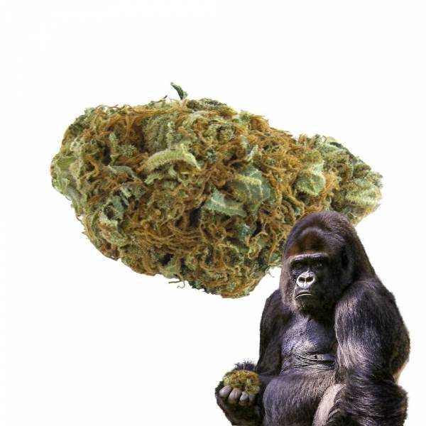 Gorilla Glue 8,4% - Fleurs de CBD Indoor